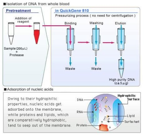 the extraction of purified dna from At bitesize bio, we share a lot of troubleshooting tips for rna and genomic dna extraction because almost everything we do in molecular biology requires nucleic acid isolation as the very first step.